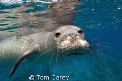 Hawaiian Monk seal, Kona, Hawaii by Tom Carey 